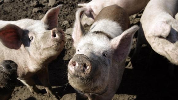 Российская свинина упала в цене на 20% впервые за последние шесть лет. Фото: Глеб Щелкунов