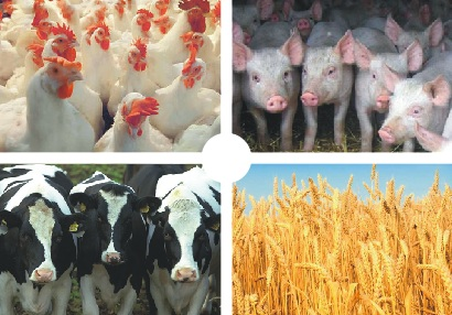 По мнению экспертов Департамента животноводства и племенного дела Минсельхоза России, в уходящем 2013 году подотрасли свиноводства и птицеводства вышли на лидирующие позиции по производству мясной продукции в Российской Федерации